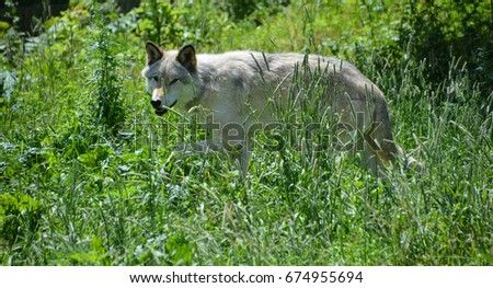 Gray wolf or grey wolf Canis lupus, also timber or western wolf is a canine native to the wilderness and remote areas of Eurasia and North America. It is the largest extant member of its family #674955694