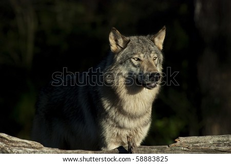 Gray Wolf or Timber Wolf