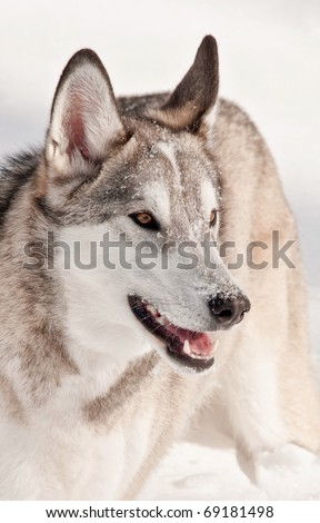 Gray Wolf (or Timber Wolf) in the Snow - stock photo
