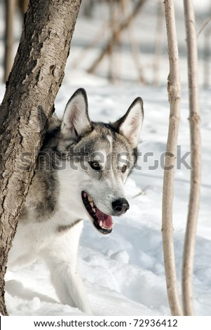 Gray Wolf (or Timber Wolf) in the Snow