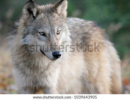 Gray wolf or timber wolf in wooded autumn surroundings.   #1039643905