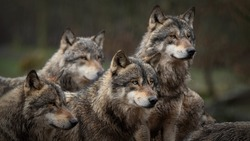 gray wolf pack in forest