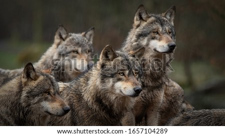 gray wolf pack in forest Stockfoto ©