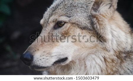 Gray wolf portrait close up. Beautiful picture of the predator
