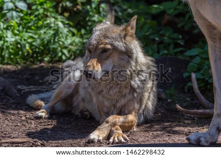Gray wolf (timber wolf) lying on the grass. Eurasian animals. #1462298432