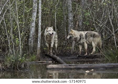 gray wolves by lake