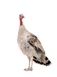 gray yong female turkey isolated on a white background.