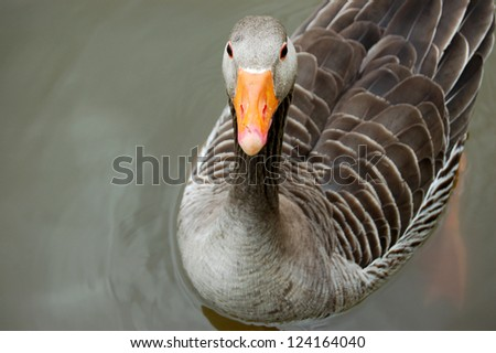 Graylag goose floating calmly on still waters - stock photo