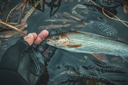 Grayling caught by fly fishing in a stream.