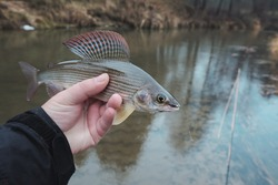 Grayling caught on the fly. Fly fishing accessories.
