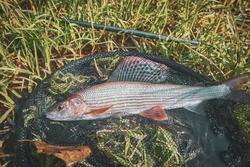 Grayling caught on the fly in a forest stream.