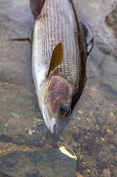 Grayling fish in water on river stones. Fishing at wild river