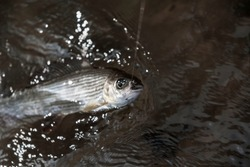 Grayling is caught on a dryfly.