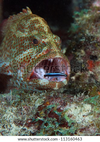 Graysby with a Neon Goby cleaning its teeth.