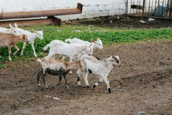Grazing a herd of goats and sheep in the open air on the ranch. Cattle grazing, animal husbandry. The breeding of cattle