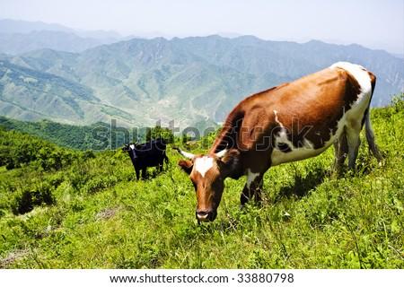 grazing cow #33880798