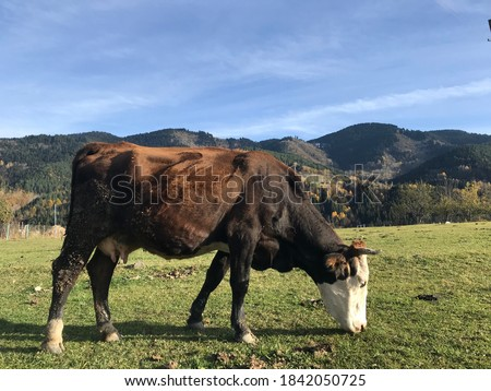 Grazing cows growed for the festival of sacrifice Stock fotó ©