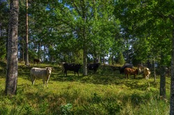 Grazing cows in a grove outside Läckö Castle at Lake Vänern, Västergötland, Sweden.