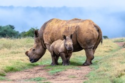 Grazing dehorned white rhinoceros with calf looking at camera