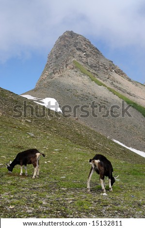 grazing goats in the swiss alps