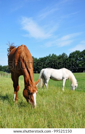 Grazing Hanoverian mare and white pony in a pasture. #99521150