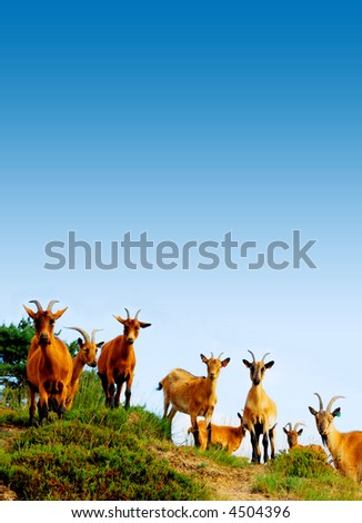 grazing herd of goats on a hill in the heather fields