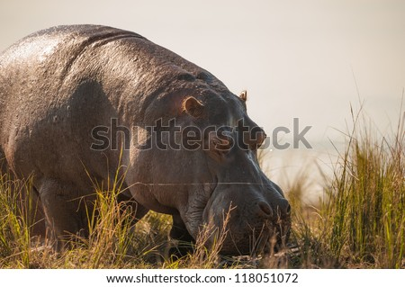 Grazing hippopotamus up close in Chobe National Park