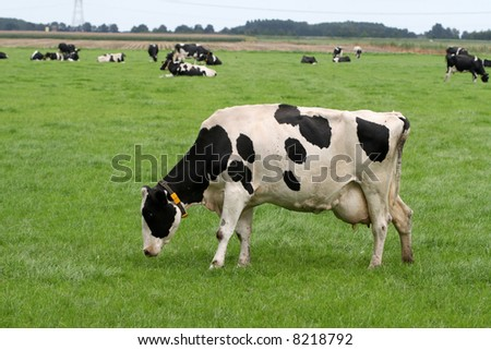 Grazing Holstein cow with herd in the background
