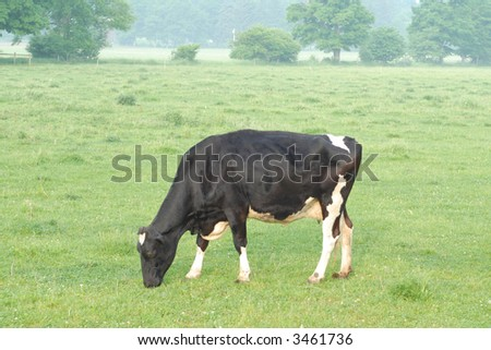grazing holstein or dairy cow out in pasture in rural ontario