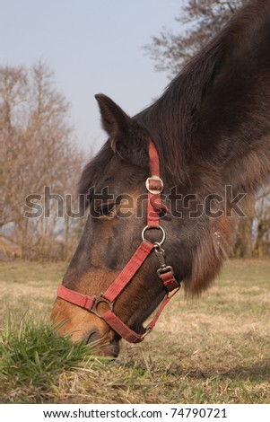 Grazing horse with red halter