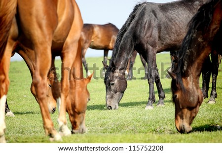 grazing horses in a meadow #115752208