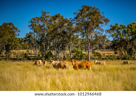 Shutterstock Grazing land on an Australian cattle property in South East Queensland. Herd of Charolais cross Brahman cows amongst the grass pasture with  ironbark trees beyond. Blue sky. Copy space. Darling Downs.