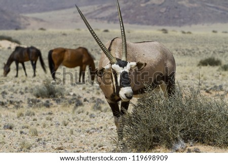 Grazing Oryx in the steppe of Namibia