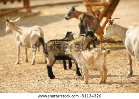 Grazing she-goats in the farm