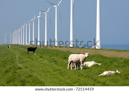 Grazing sheep along the Dutch coast with windmills