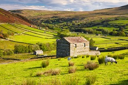 Grazing Sheep and Hay Barns, Swaledale in Autumn, Yorkshire Dales, England, UK.