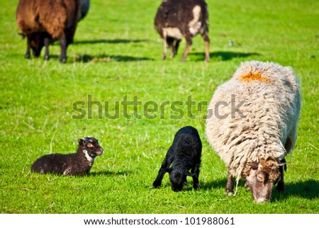 grazing sheep at a farm in Scotland