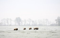 grazing sheep in a white frosty field