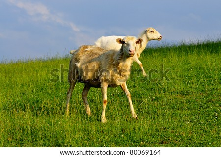 Grazing sheep in Evening Light, family farm, Webster County, West Virginia, USA