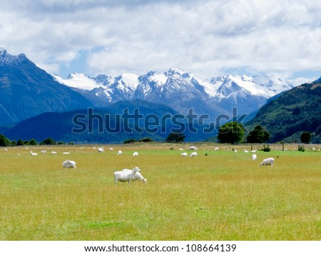 Grazing sheep in glacial Rees Dart river valley with Mt Aspiring National Park, Southern Alps, vista backdrop forming an iconic New Zealand landscape