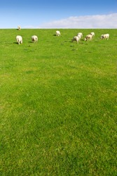 Grazing sheep on a meadow, shoot in wide-angle.