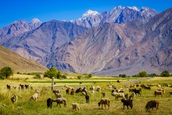 Grazing sheeps in the Pamir Mountains
