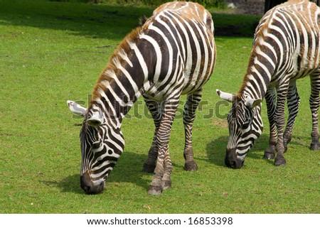 grazing zebras, striped ponies, safari in zoo, animals in the zoo