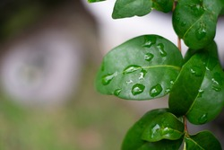 Grean leaf closeup with a water droplet