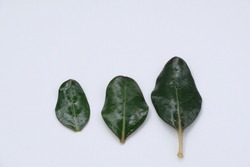 grean leaf on white background