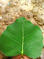 Grean leaves, Photographed from Kasaragod, Kerala, India, dated 09/09/2019