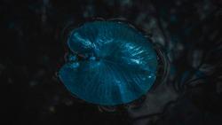 Grean water lily leaf closeup. Photo in blue tone. Dark night photo.