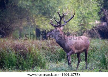 Great Adult Noble Deer With Big Horns,Cervus elaphus #1404187556