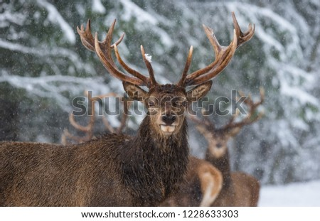 Great Adult Noble Red Deer With Big Horns, Look At You. Portrait Of Great Stag With Big Antlers At Winter Forest Background. Lonely Stag Under Falling Snowflakes.Belarus. #1228633303