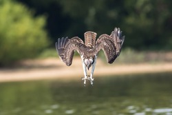 Great American Osprey with claws out diving into lake for fish